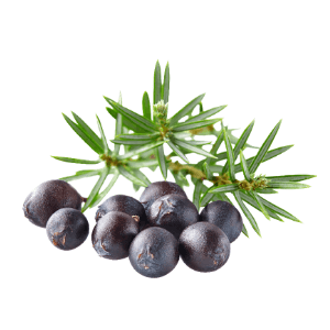 Juniperus Communis : Proprietà del Macerato Glicerico